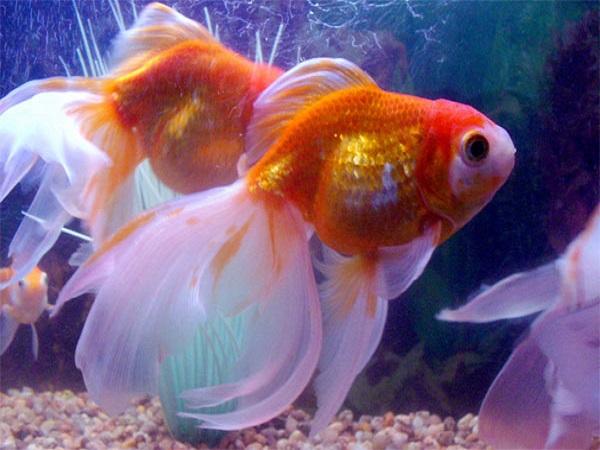 Mơ thấy cá điềm báo gì