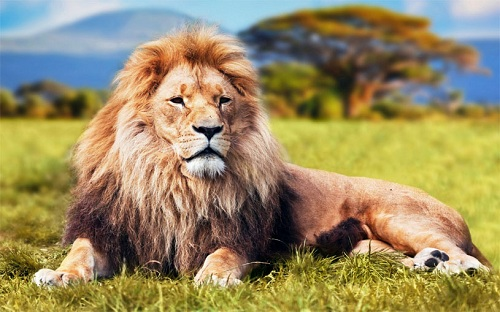 mơ thấy sư tử điềm báo gì