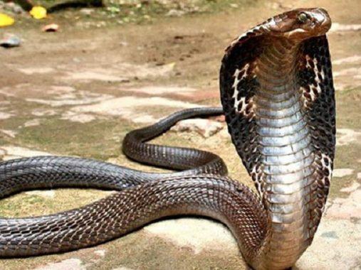 Ngủ mơ thấy rắn hổ mang điềm báo gì và đánh con số nào