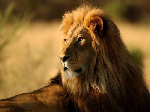 Mộng mơ thấy sư tử điềm báo gì và đánh con số đề nào chuẩn nhất