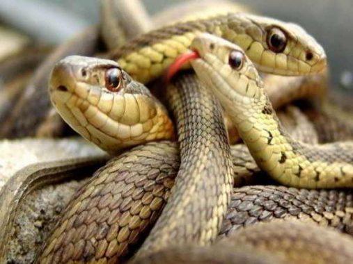 Mơ thấy nhiều rắn là điềm báo gì và đánh con số đề nào