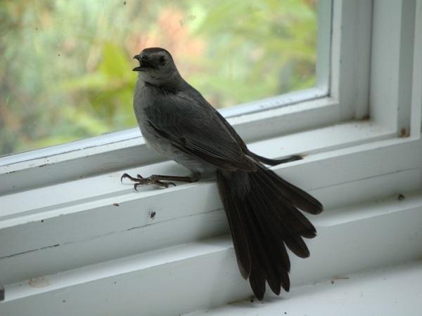 Chim bay vào nhà điềm gì?