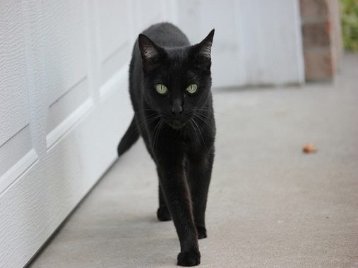 Mèo vào nhà là điềm gì?