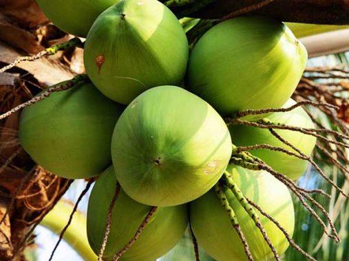 Ngủ mơ thấy quả dừa – Chiêm bao thấy quả dừa đánh con gì